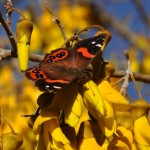 Red Admiral Butterfly on Kowhai flower