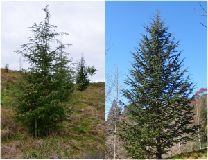 The contrasting form of 17 year old Cedrus Atlantica, left (Nott); and an 8 year old Deodar, right (Belcher)