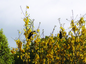 Tui in Kowhai - Guthrie-Smith